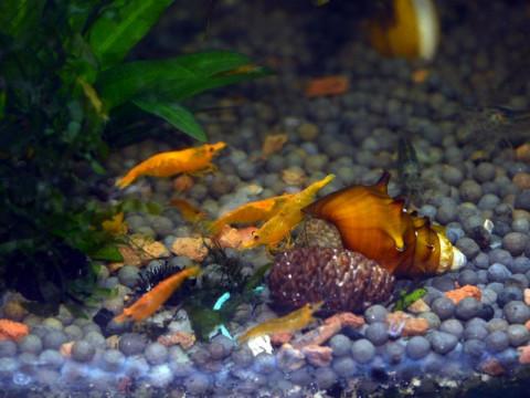 Чем кормить аквариумных креветок? И надо ли их кормить?