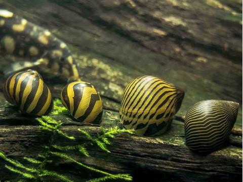 Улитки неретины в аквариуме или почему они умирают ?