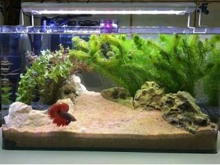 Аквариумные рыбки петушки. Выбор аквариума, условия содержания, кормления, подмен воды