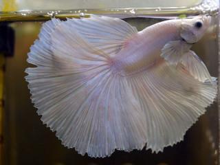 Петушок рыбка что купить, как лучше содержать?