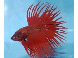 Петушок корона самец красный