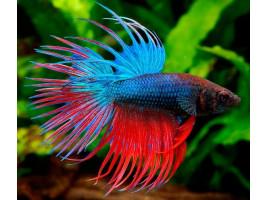 Петушок корона самец многоцветный