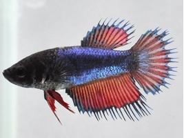Петушок корона самка многоцветная