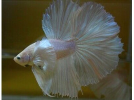 Петушок дамбо самец светлый (белый)