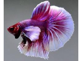 Петушок дамбо самец фиолетовый