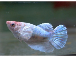 Петушок дамбо самка светлая (белая)
