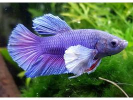 Петушок дамбо самка фиолетовая