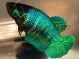 Петушок халфмун самка зеленая