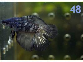 Петушок двухвост самец темный
