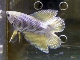 Петушок двухвост самец светлый (белый)