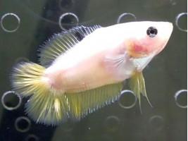 Петушок двухвост самка светлая (белая)