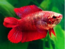 Петушок двухвост самка красная