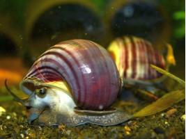 Акваріумний равлик Ампулярія фіолетова смугаста 1.5 - 2 см (Акварибкі Ферма)