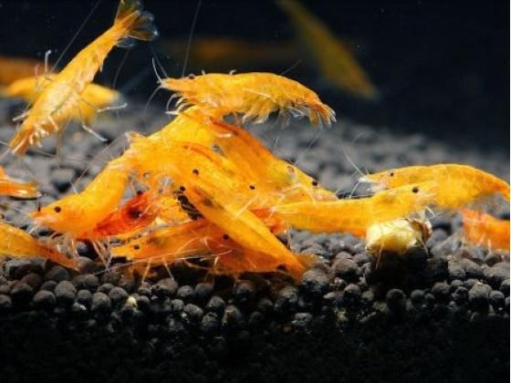 Аквариумная креветка Оранжевая Сакура