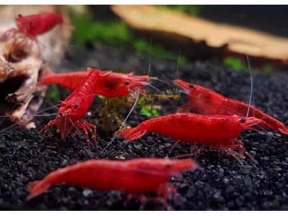 Аквариумная креветка Красная Сакура