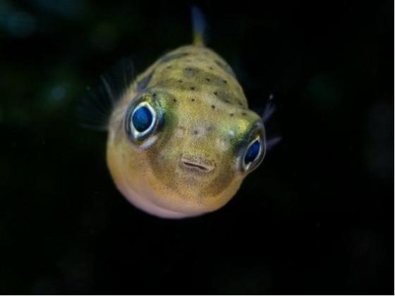 Карликовый Тетрадон (Carinotetraodon travancoricus) нано-рыбка