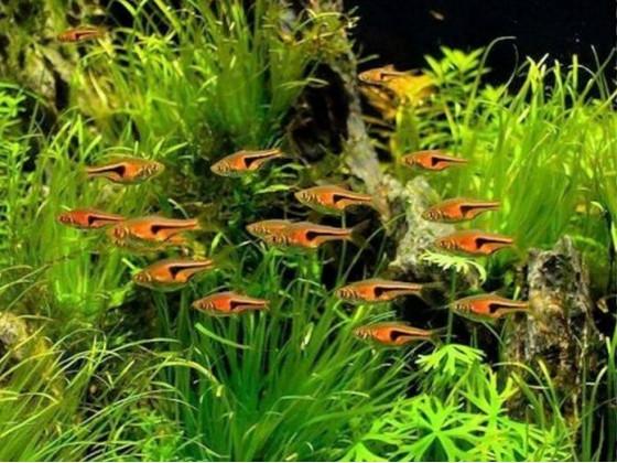 Расбора Еспеі нано рибка