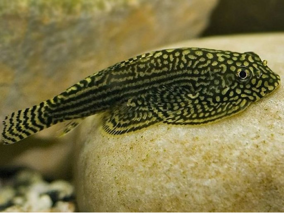 Псевдоскат севилья (Beaufortia leveretti) аквариумная рыбка