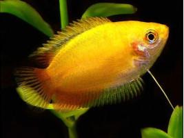 Медовый гурами аквариумная рыбка