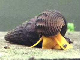 Улитка Тиломелания оранжевый кролик для аквариума 1 см