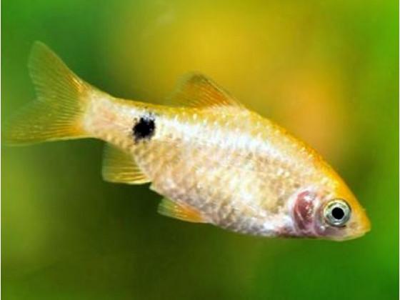 Рыбка Барбус огненный (Puntius conchonius)