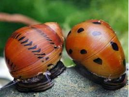 Улитка Неретина красная черноточечная  Neritina Red Spotted Snail