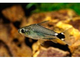 Сомік Коридорас Хастатус Corydoras hastatus акваріумна рибка