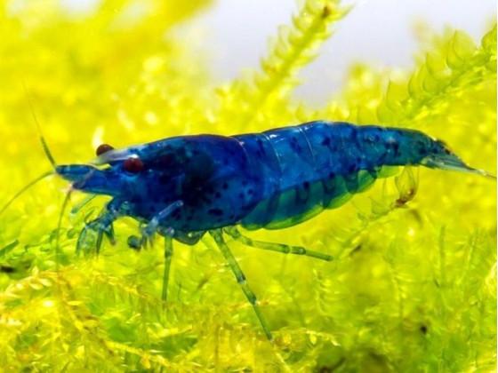 Аквариумная креветка неокардина синий вельвет (Neocaridina Blue Velvet)