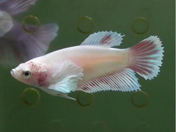 Рибка півник дамбо самка світла (1340 Акварибкі Ферма)