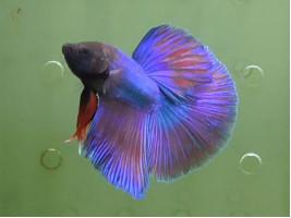Рыбка петушок халфмун самец разноцветный (1418 Акварыбки Ферма)