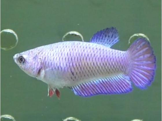Рыбка петушок халфмун самка светлая (1400 Акварыбки Ферма)