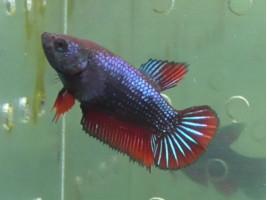 Рибка півник халфмун самка червона (1228 Акварибкі Ферма)