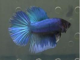 Петушок супердельта самець синій (1129 Акварибкі Ферма)