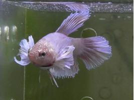 Рибка півник дамбо самець світлий (1274 Акварибкі Ферма)