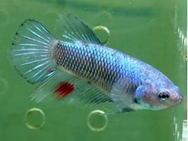 Рибка півник халфмун самка світла (1240 Акварибкі Ферма)