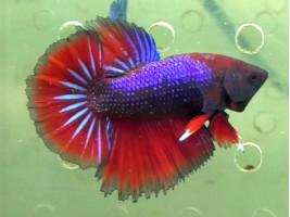 Рыбка петушок халфмун самец красный (1233 Акварыбки Ферма)
