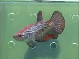 Рыбка петушок халфмун самка темная (1412 Акварыбки Ферма)
