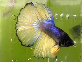 Рыбка петушок супердельта самец желтый (1295 Акварыбки Ферма)