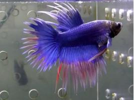 Рибка півник корона самець синій (1225 Акварибкі Ферма)