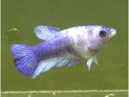 Півник халфмун самка синя (1423 Акварибкі Ферма)