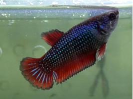 Рибка півник халфмун самка червона (1230 Акварибкі Ферма)