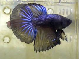 Петушок халфмун самець чорний (1071 Акварибкі Ферма)
