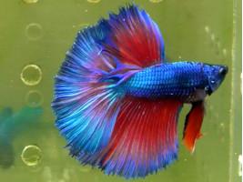Рыбка петушок халфмун самец синий (1264 Акварыбки Ферма)