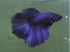 Рыбка Петушок халфмун самец синий (1317 Акварыбки Ферма)