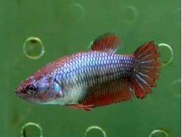 Рыбка петушок халфмун самка красная (1239 Акварыбки Ферма)