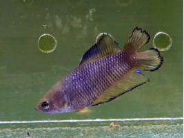 Рыбка петушок двухвостый самка желтая (1268 Акварыбки Ферма)