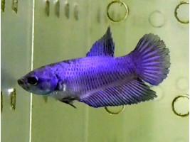 Петушок халфмун самка синяя (1337 Акварыбки Ферма)