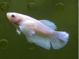 Рыбка петушок дамбо самка светлая (1297 Акварыбки Ферма)