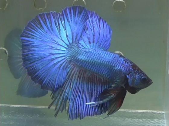 Рибка півник халфмун самець синій (1403 Акварибкі Ферма)