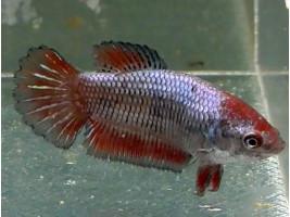 Петушок халфмун самка червона (1161 Акварибкі Ферма)